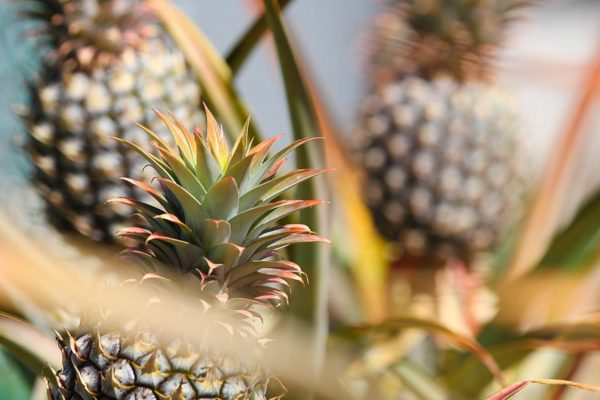 Maui Tour Highlight: Pineapple Express